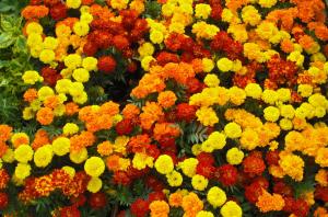 Marigolds are the perfect pest deterent - Getaway Vans, Morzine