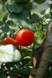 Cherry Tomatoes! YUM! - Getaway Vans, Morzine